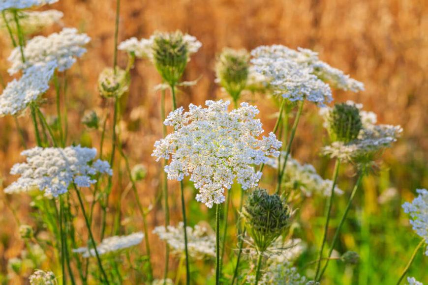 Die einjährige Gewürzpflanze bildet helle Blüten in Doldenform aus.