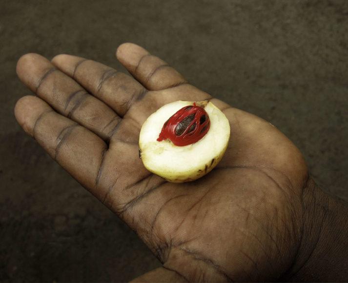 Botanisch betrachtet ist die Muskatnuss keine Nuss, sondern der Samenkern einer pfirsichartigen Frucht. Sie wird in ihrer indonesischen Heimat zu Konfitüren oder Süßigkeiten verarbeitet.