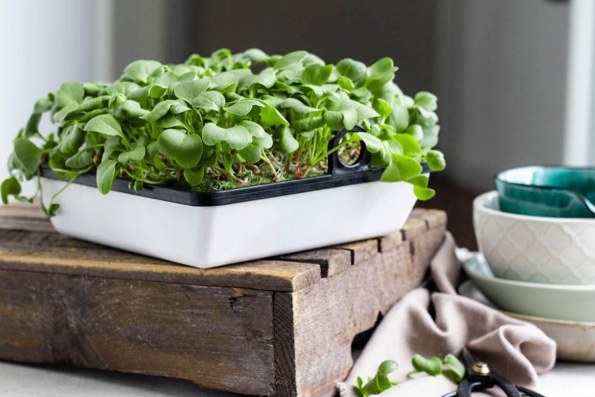"""Neben Kräutern und Salaten gedeihen auch Keimlinge von Karotten oder Radieschen in dem """"Smart-Home-Gemüsegarten"""" von Agrilution."""