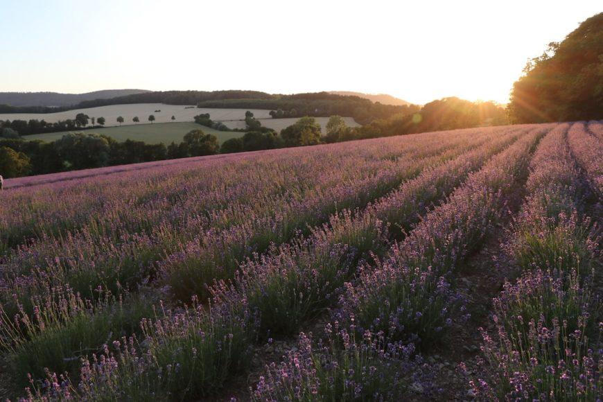 """Die """"Petite Provence"""" zieht zur Blütezeit viele Gäste an. Die Felder als auch der Duftgarten am Taoasis-Firmensitz können im Sommer besichtigt werden."""