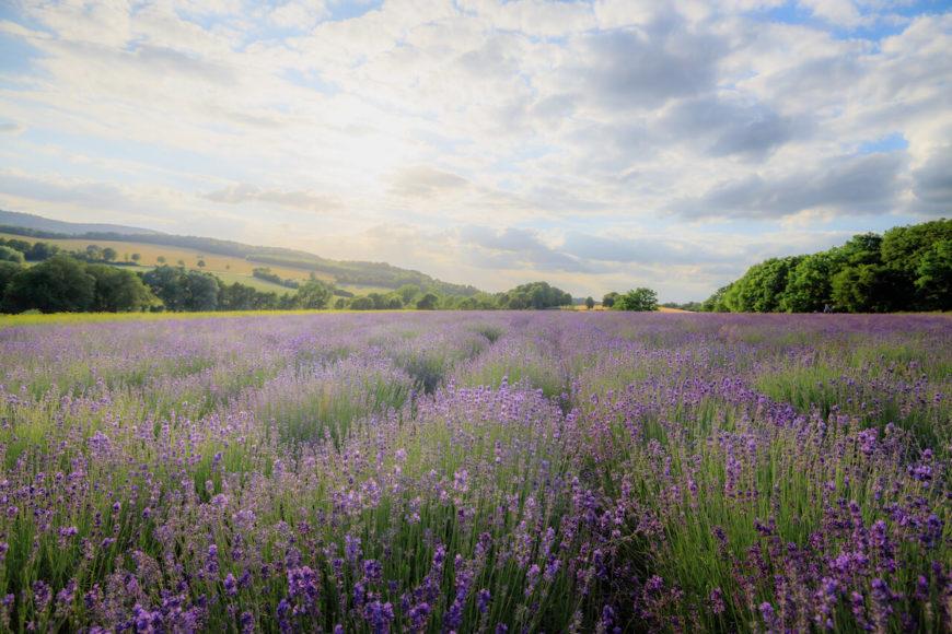 Überraschende Schönheit: Lavendelfelder in Ostwestfalen-Lippe. Die heißen Sommer der letzten Jahre bekommen den wärmeliebenden Pflanzen.