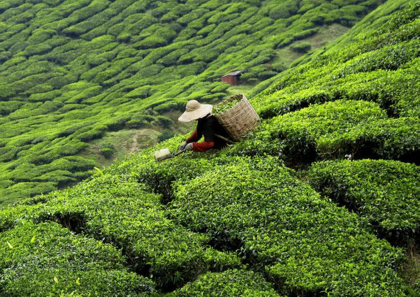 Sri Lanka ist bekannt für seinen Tee, den das Land in großen Mengen anbaut und exportiert.